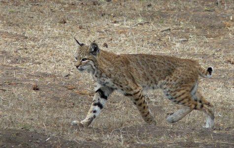 Bobcat sightings increase in Ohio