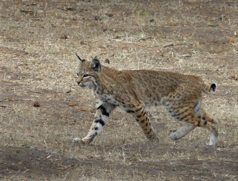 Bobcat sightings increase in Ohio