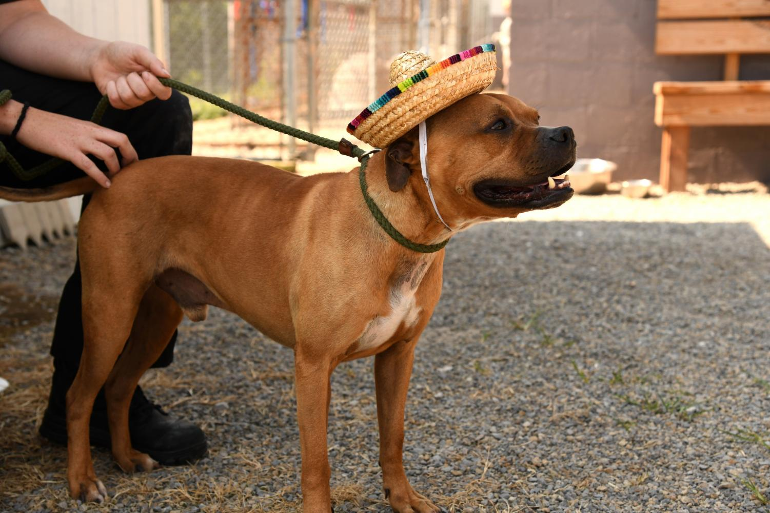 Taco, a male boxer-mix, was taken in by the adoption center on Cinco De Mayo. Families are encouraged to come visit with their children and other dogs before adopting.