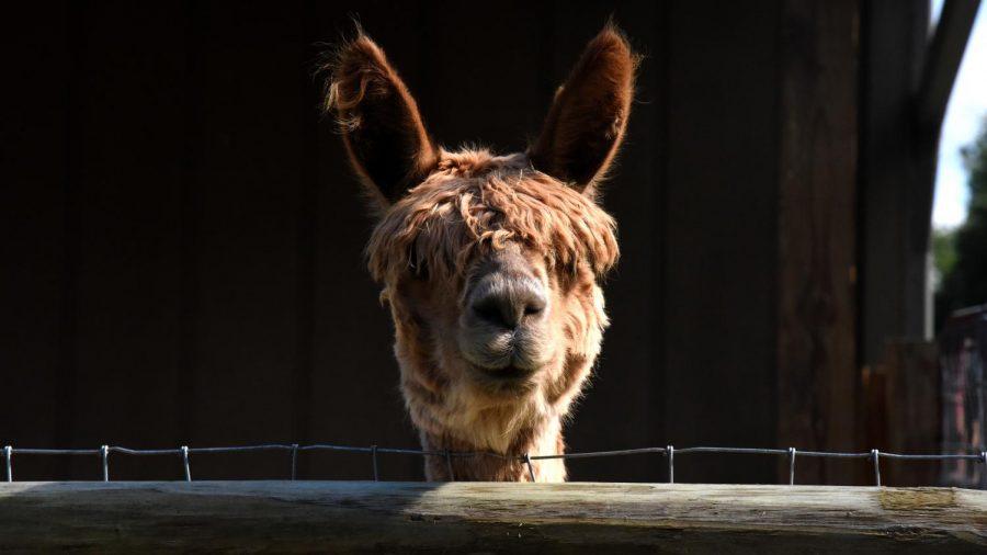 92+alpacas+in+Zanesville+make+up+the+largest+Suri+Alpaca+farm+in+Southeast+Ohio