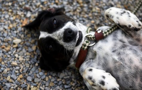 Pepper was a featured pup in September 2018 that was previously available for adoption at the Muskingum County Dog Warden and Adoption Center.