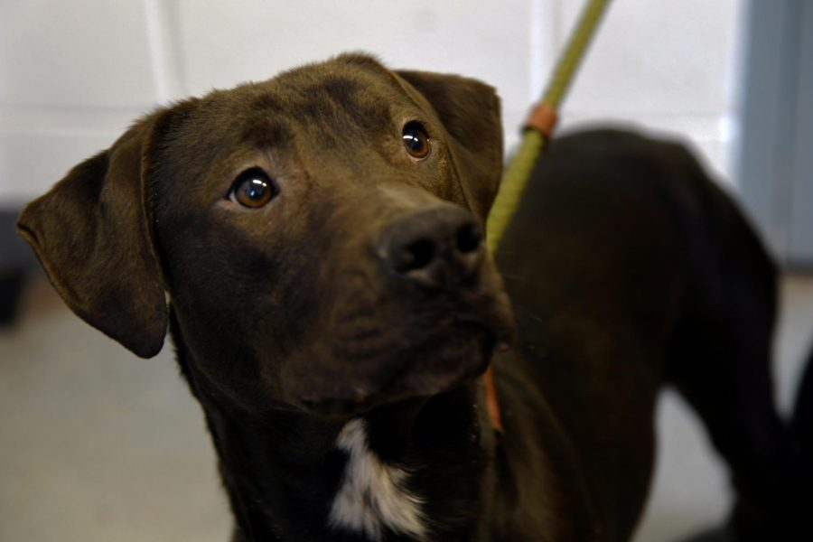 Bowser+is+available+for+adoption+at+the+Muskingum+County+Dog+Warden+and+Adoption+Center.