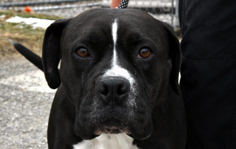 Letty is a 3-year-old Boxer-mix. She was picked up by the Dog Warden as a stray.