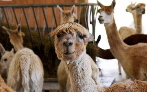 A day alpaca-ed with family fun