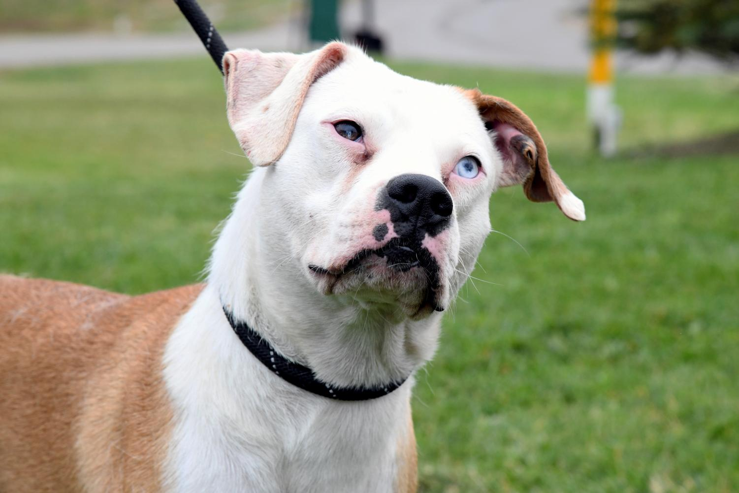 Ashley is an adult boxer-mix with one brown eye and one ice blue eye.